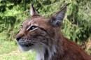 Rode lynx