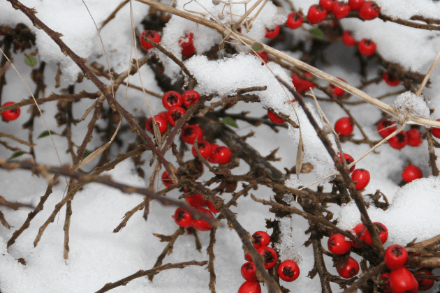 berries_in_snow