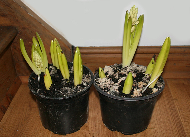 blanched_hyacinths