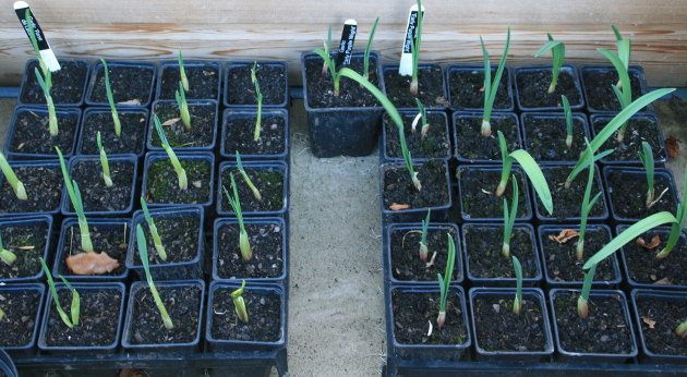harlow_carr_garlic_planters_2