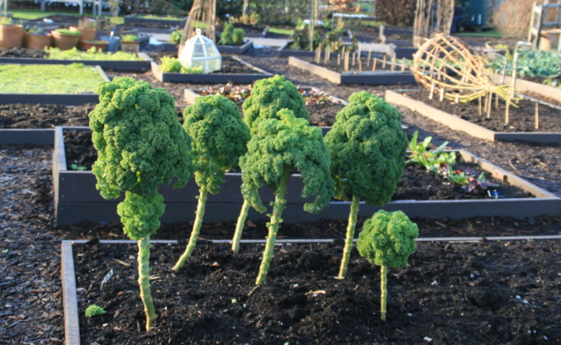harlow_carr_kale_january