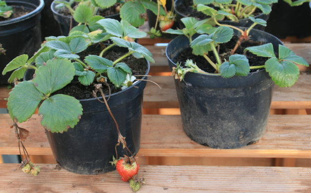 harlow_carr_strawberry