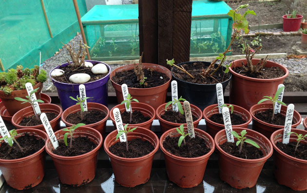 greenhouse_tomato_seedlings