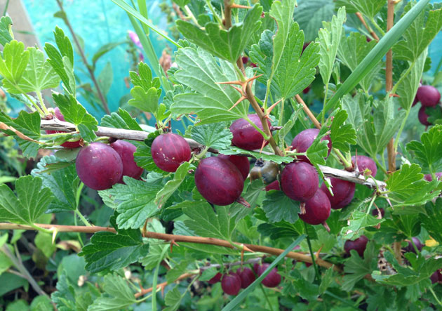 desert-gooseberries