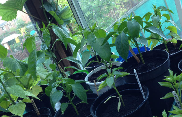 peppers-growing