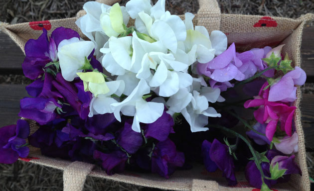 collecting-sweet-peas