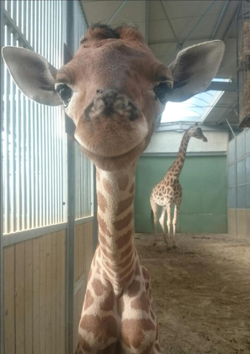 """La """"petite bourguignonne"""" qui sauve les girafes du Niger"""