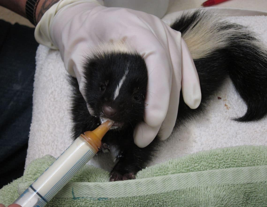 Fullsize Of Can Skunks Climb