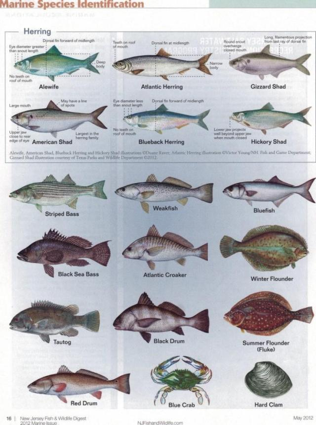 Fish identification saltwater fish identification chart for South carolina saltwater fishing regulations