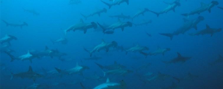 hammerhaie-werden-in-malpelo-bei-so-gut-wie-jedem-tauchgang-gesehen