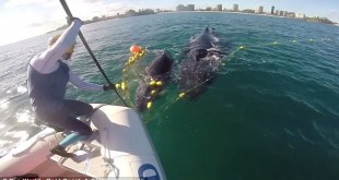 הצלת גור לוויתנים מרשת באוסטרליה