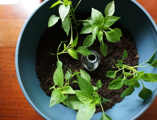 How to Make a Container Garden: peppers with a built in drip feeder