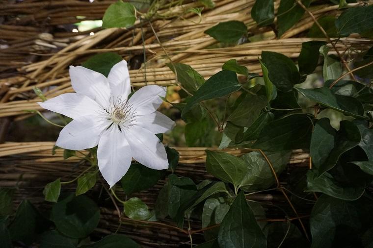 Flower Show - white flower Dutchess of Albany on wicker landscape