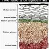 Five-layers-of-epidermis