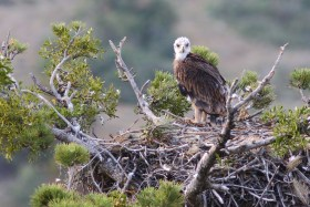 Imperial Eagle fledgling: Akif Aykurt