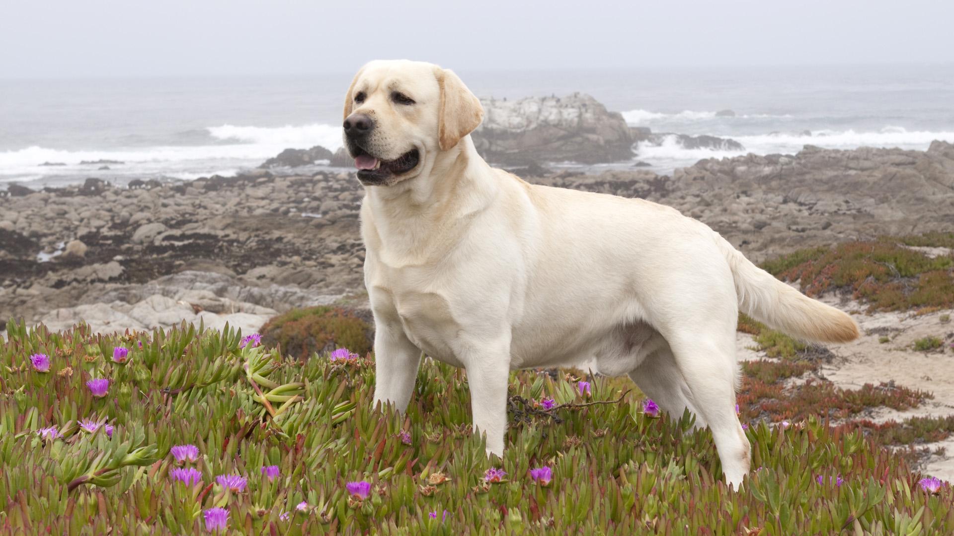 Fullsize Of Big White Dog Breeds