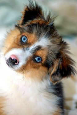 Small Of Blue Eyed Dogs