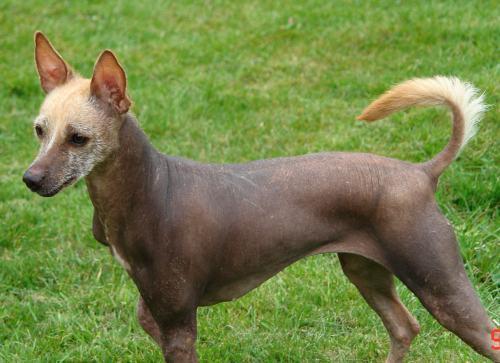 Medium Of Mexican Dog Breeds