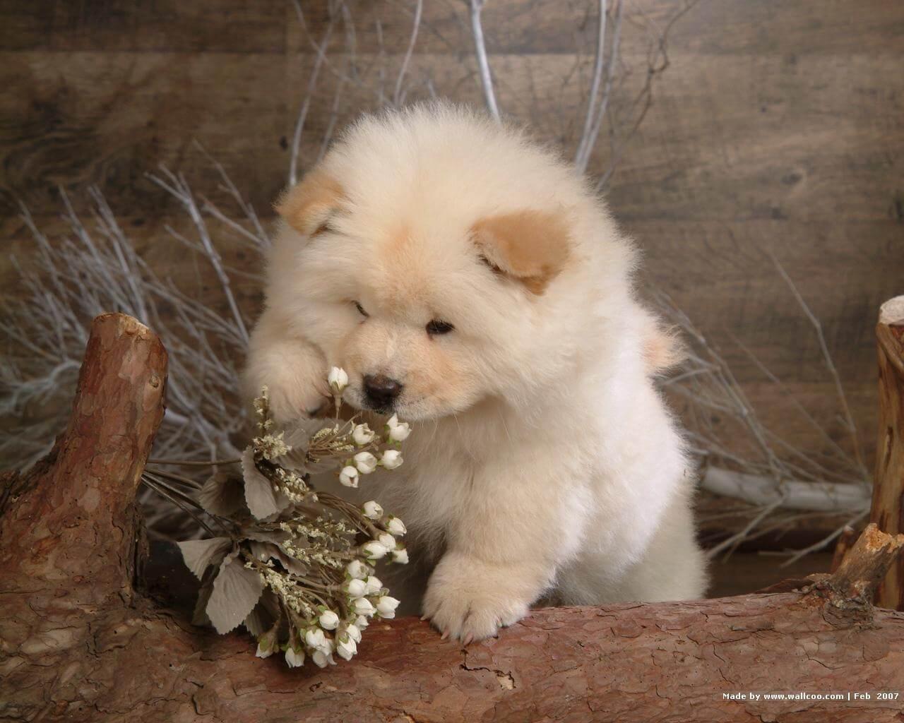 Affordable Photo Gallery Chusky Dog Breed Temperament S Husky Chow Mix Names Chow Husky Mix S bark post Husky Chow Mix