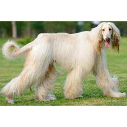 Small Crop Of Long Hair Dog