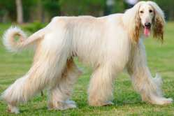 Small Of Long Hair Dog