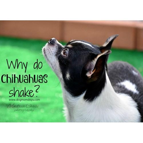 Medium Crop Of Why Do Chihuahuas Shake