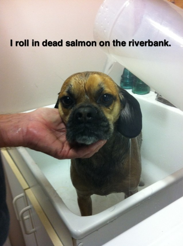 I Roll In Dead Salmon On The Riverbank