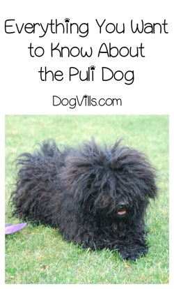 Astounding Puli Dog Everything You Need To Know About Mop Dog Are Puli Dog Little Dog That Looks Like A Mop Dog That Looks Like A Mop Video