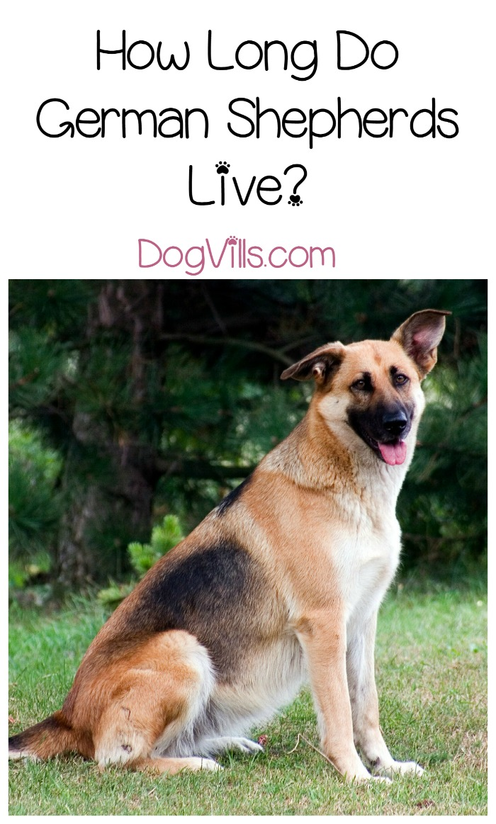 Mind German Shepherd Life Expectancy How Much Time Will You Have How Long Do German Shepherds Dogvills Longest Living Dog World Record Longest Living Dogue De Bordeaux bark post Longest Living Dogs