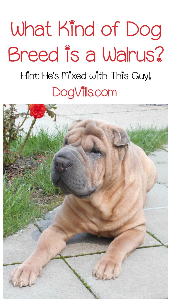Splendid Dog Is A Walrus Miniature Shar Pei Sale Miniature Shar Pei Breeders What Kind bark post Miniature Shar Pei