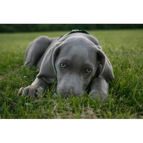 Medium Crop Of Blue Eyed Dogs