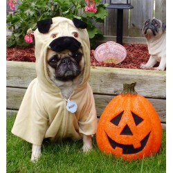 Small Crop Of Pug In Costume