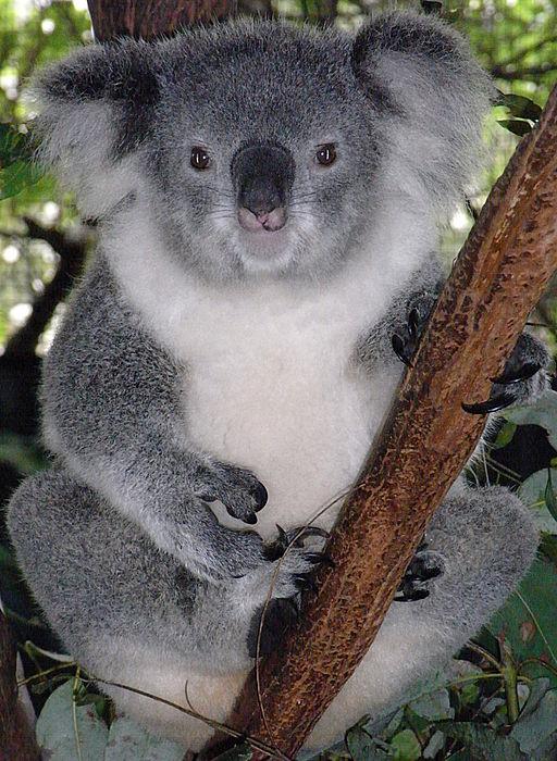 female-koala