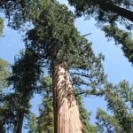 Giant Sequoias – 5 Things to Love About Nelder Grove