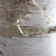 Young birch bark