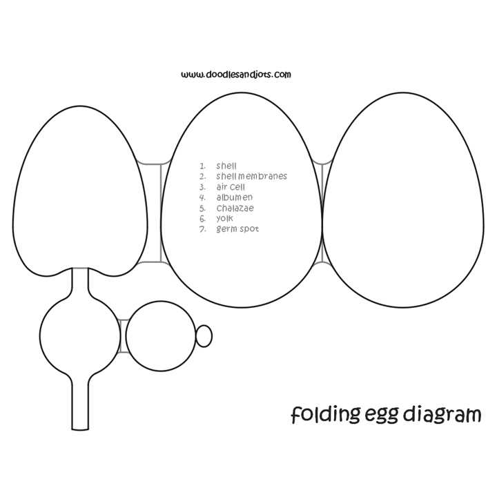 Egg Anatomy Printable Doodles And Jots