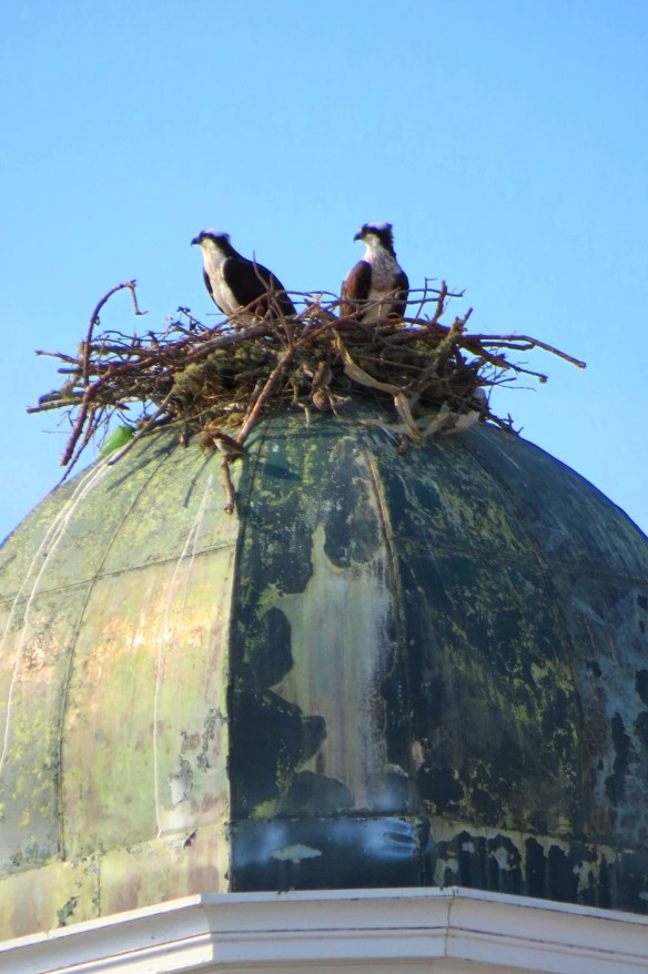new osprey nest