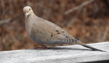 mourning dove visit