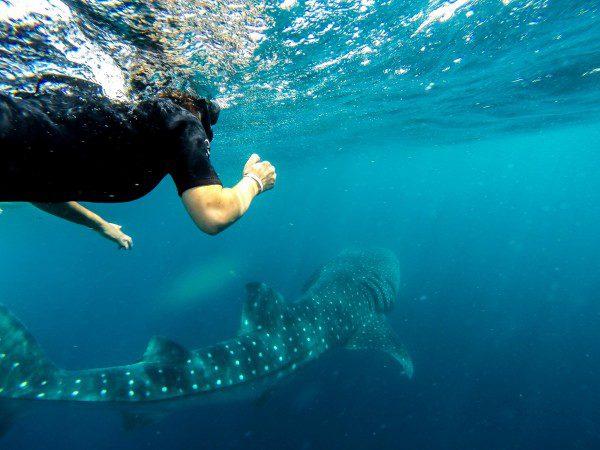 nade com tubarão baleia