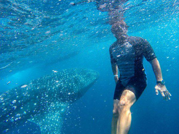 nade com o tubarão baleia