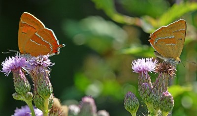 Two butterflies, side on, on thistle flowers.