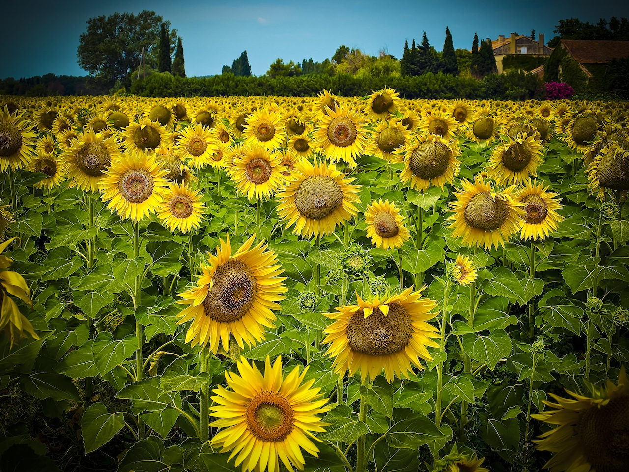 A field of sunflowers photographed on the Valensole Plains, Provence, France.