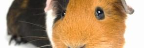 guinea-pig-1