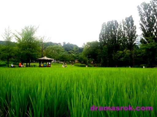 boramae-park-ricefield
