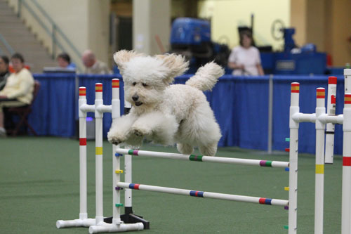 doodles in agility - image from goldendoodles.com