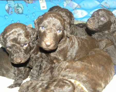 3 week old Chocolate Labradoodle puppies - Dec, 26th 2013