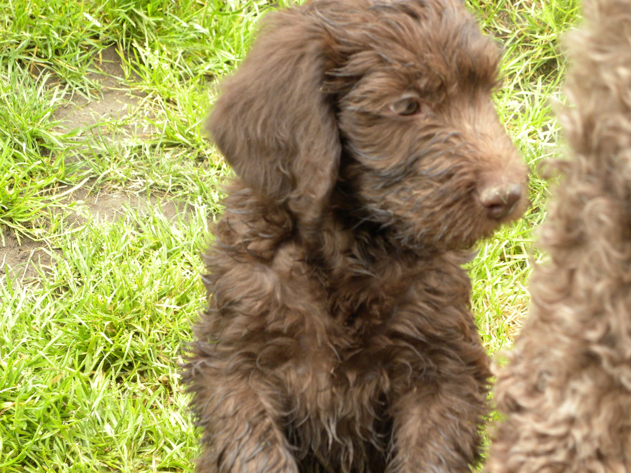 F1b Labradoodle Litter 2011- Aussiedoodle and Labradoodle ... | 2048 x 1536 jpeg 517kB