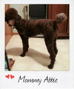 Small Standard Poodle Abby