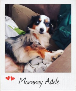 Mommy Adele - Toy Australian Shepherd