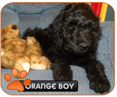 F1 Goldendoodle - Mac - 12wks
